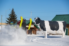 Claybelt-Cow-Snowmobiling
